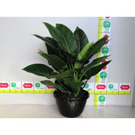 PHILODENDRON domesticum